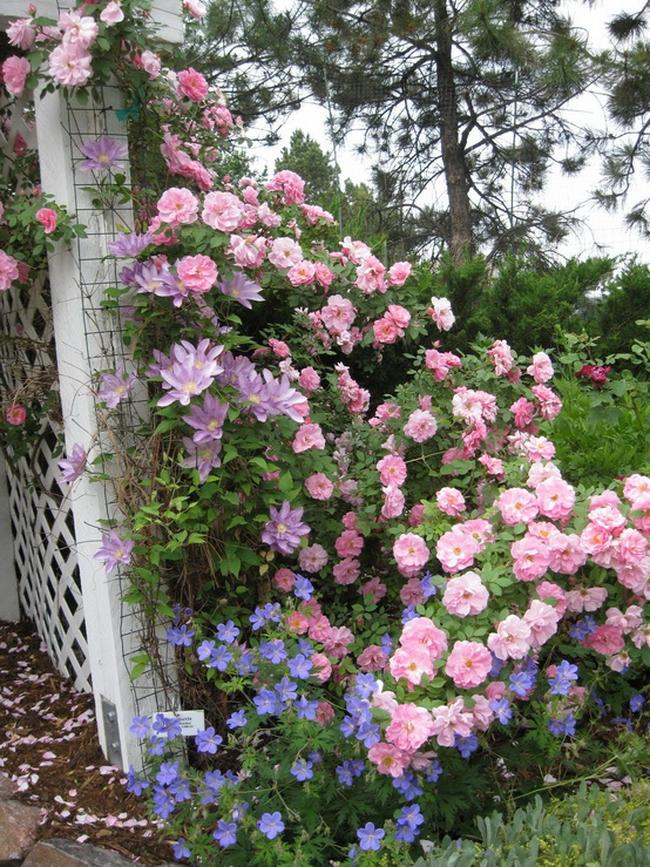 Розы ландшафтный дизайн фото