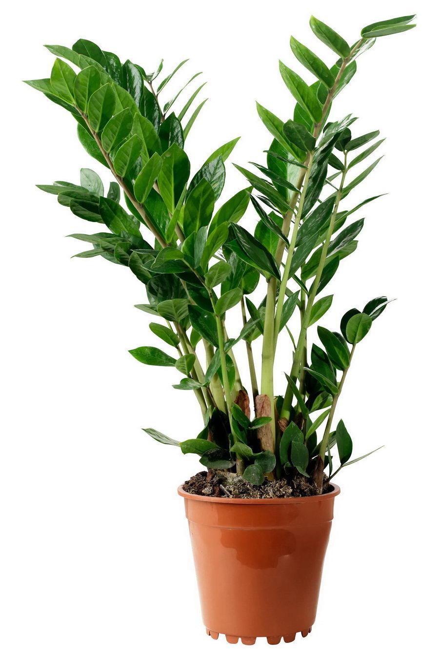 Большие комнатные растения: высокие домашние цветы и крупные растения типа дерева в горшках для дома | 30 больших комнатных растений и цветов — фото и названия | 10 самых больших растений для интерьера: куда поставить, как ухаживать | Комнатные растения большие, высокие; напольные домашние цветы с листьями